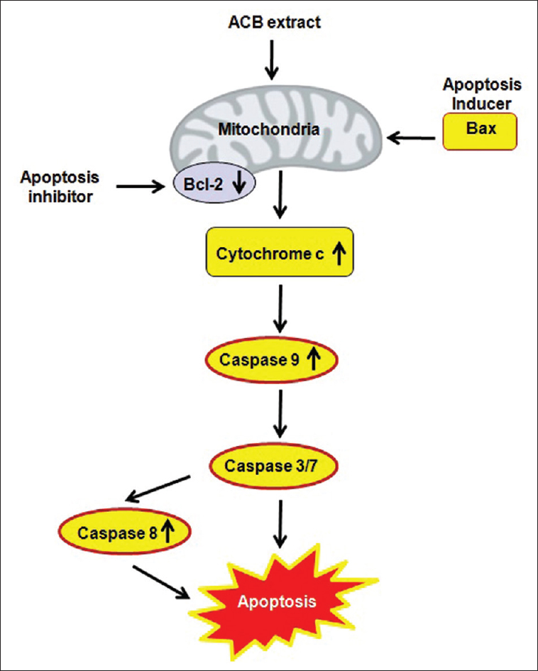 bf0a54626d05 Figure 6  Probable mechanism of apoptosis induction by  i Acacia catechu